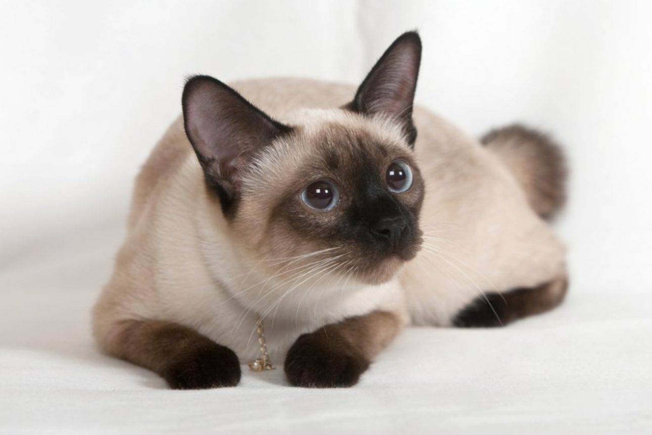 Выбираем имя для сиамских кошек