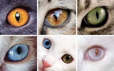 Голубой окрас у британских кошек и котов