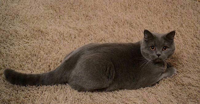 Кошка сильно линяет. что делать и как правильно ухаживать за шерстью? почему британская кошка сильно линяет