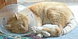 Все основные болезни и травмы хвоста у кошек