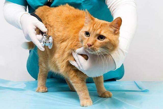 Симптомы и лечение сердечной недостаточности у кошек