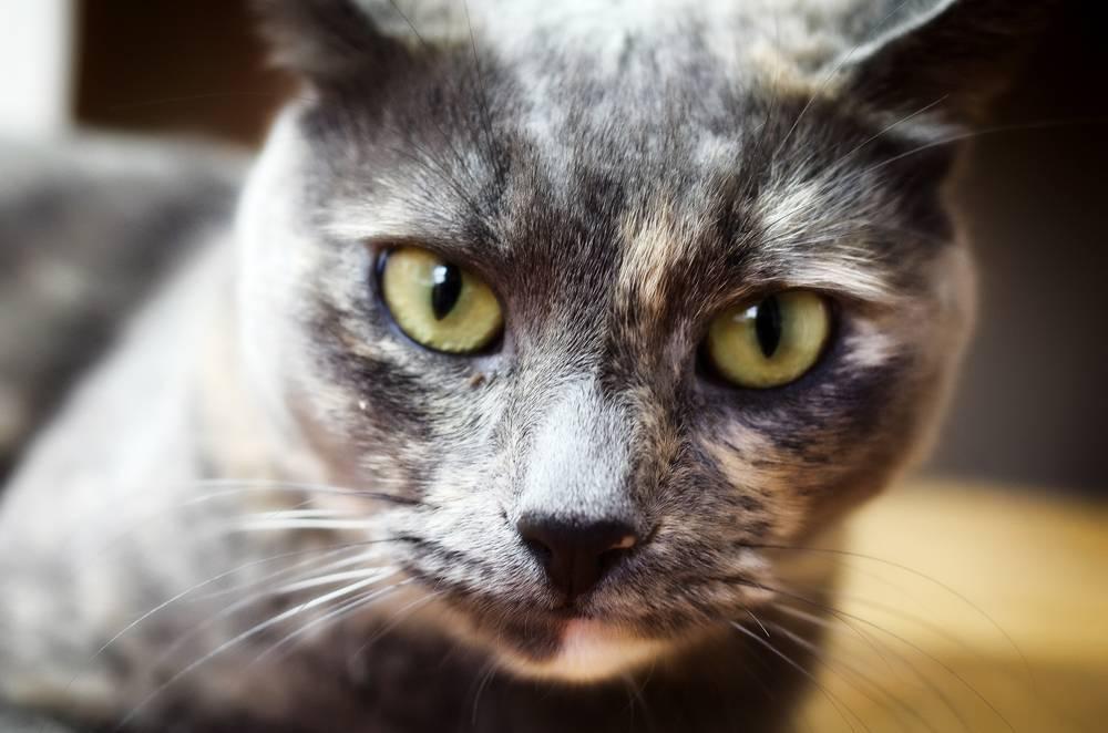 Из-за чего у кошки могут появляться залысины на ушах? | мир кошек когда у кошки появляются залысины на ушах? | мир кошек