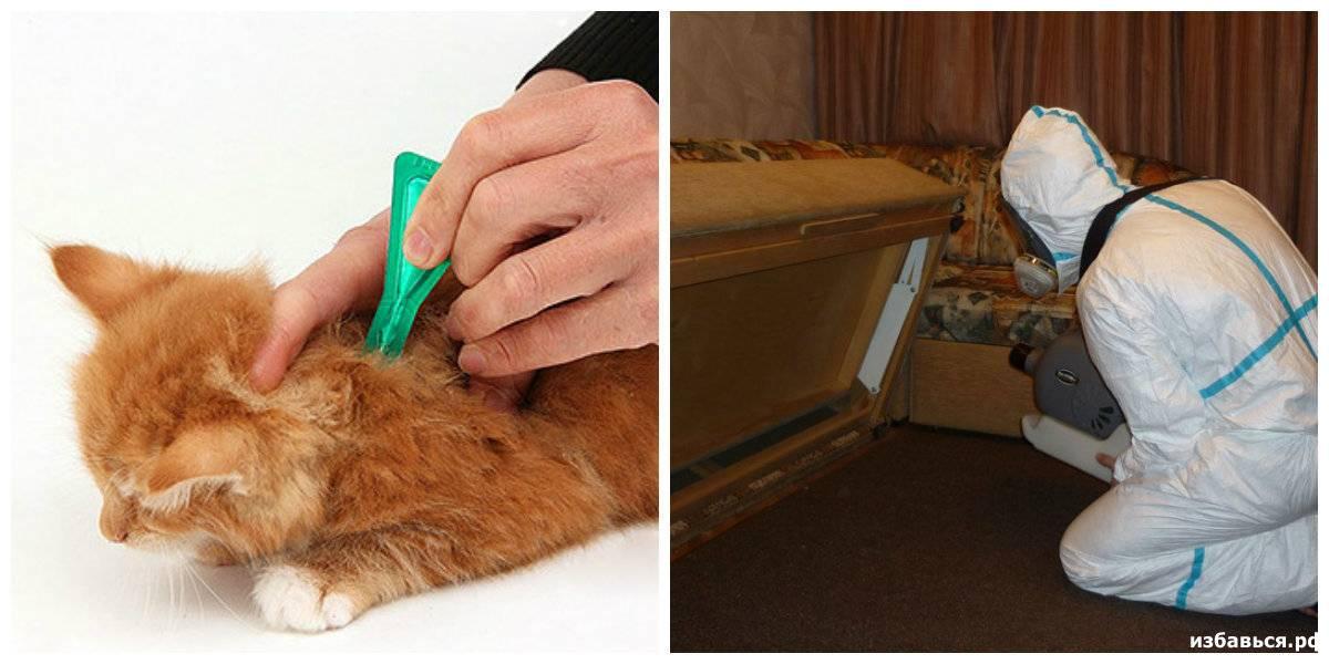 Как выводить блох у взрослых кошек и маленьких котят?