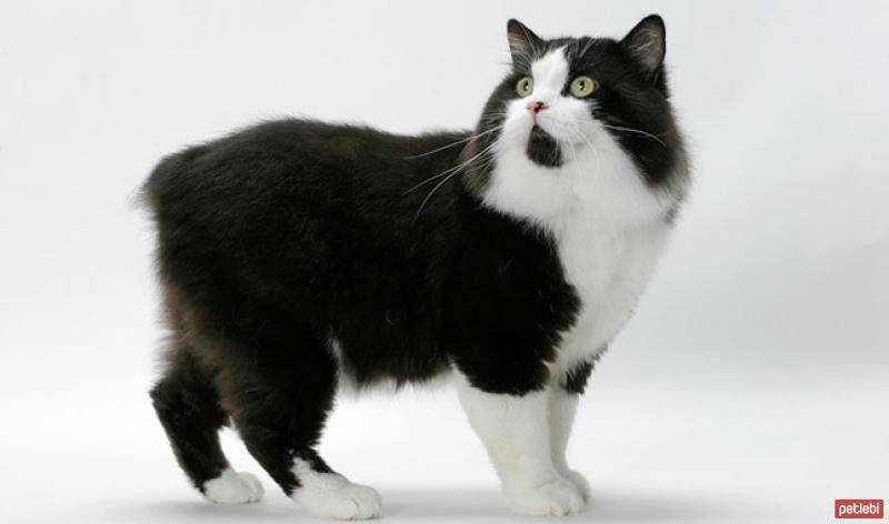 Кимрик кошка: фото, особенности, уход, болезни