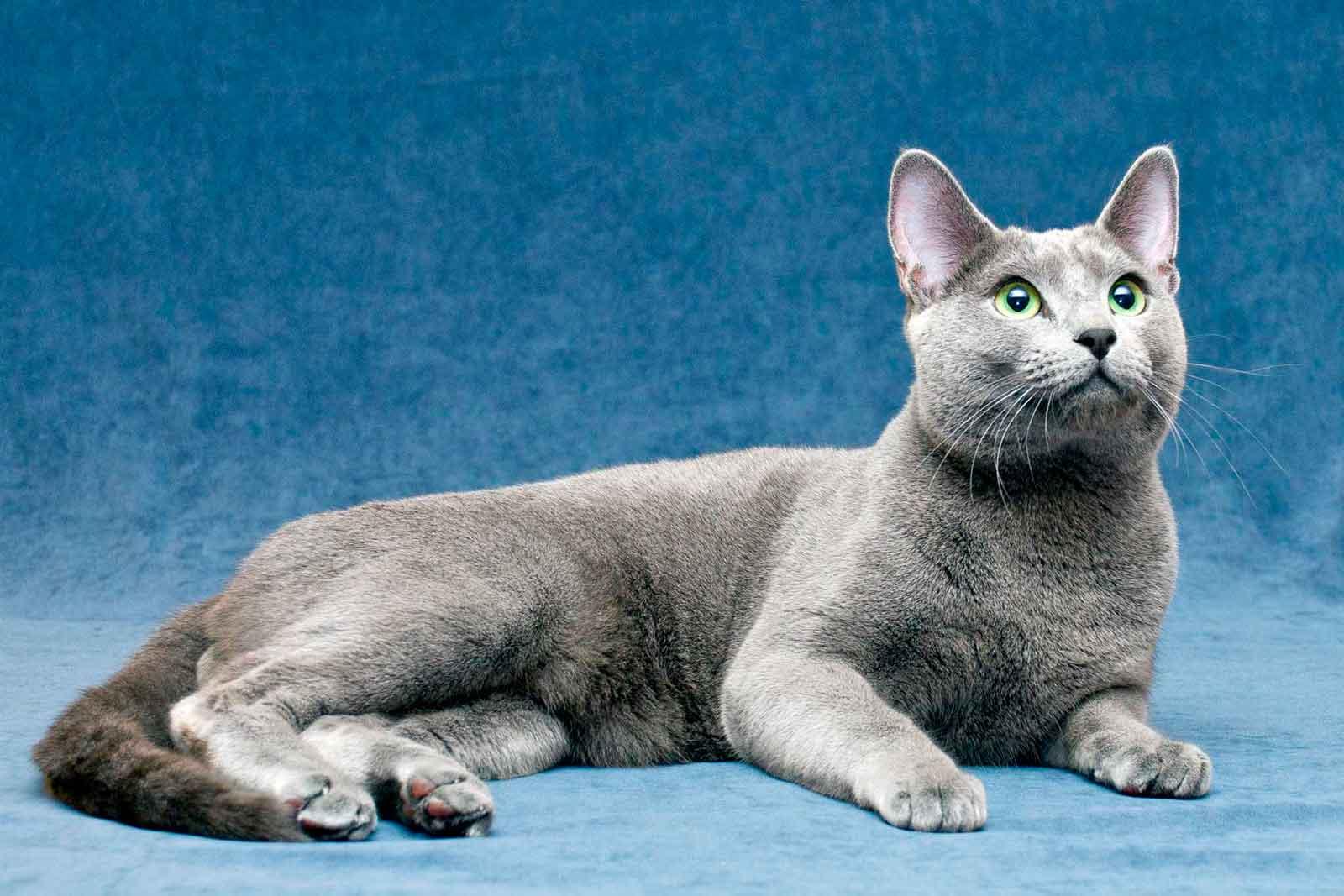 Кошка каракет – потомок степной рыси