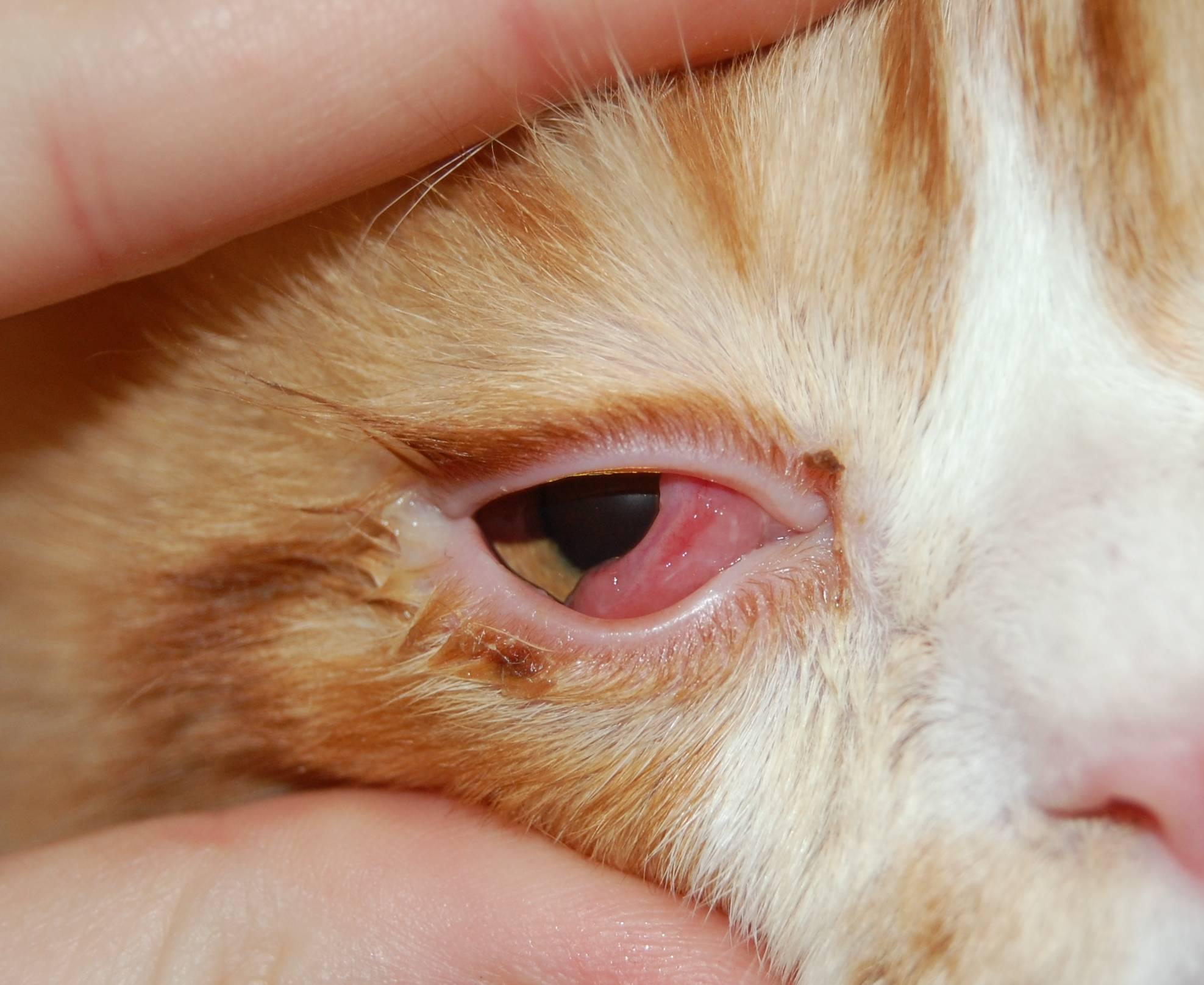У кошки или кота слезятся глаза: почему, что делать в домашних условиях, как помочь котенку и взрослому животному, чем промыть