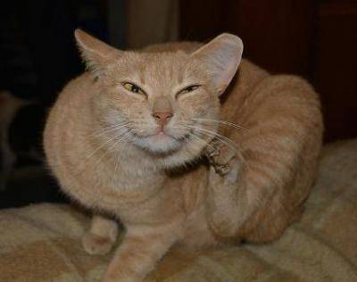 Котик чешет ушко и голову: есть ли повод для беспокойства?