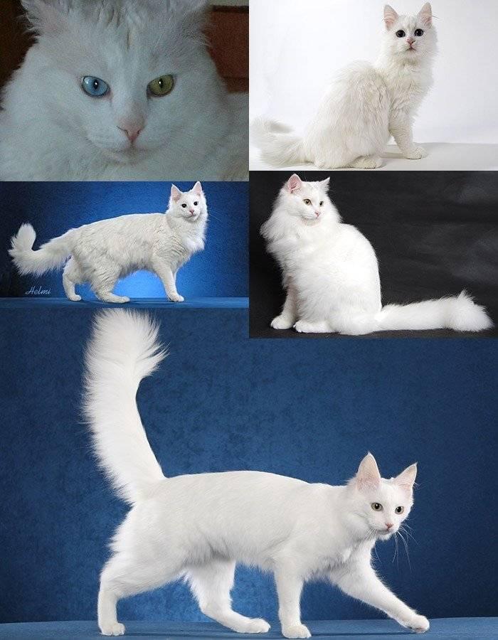 Турецкая ангора кошка. описание, особенности, уход и цена турецкой ангоры | животный мир