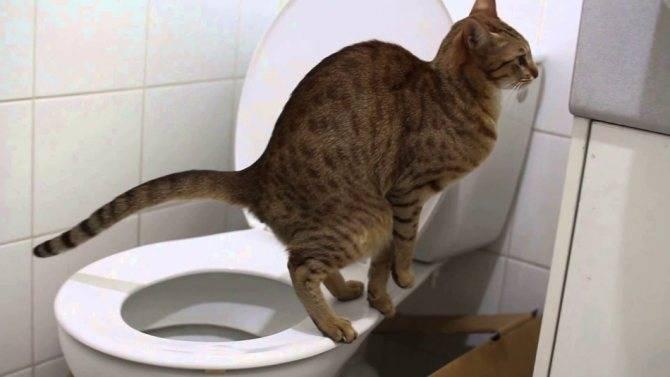 Запор у кошек:  симптомы и лечение в домашних условиях, корма