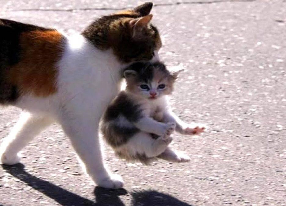 Почему нельзя таскать кота или кошку за шкирку