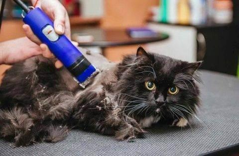 Стрижка котов и кошек: описание процесса, виды стрижек, примеры