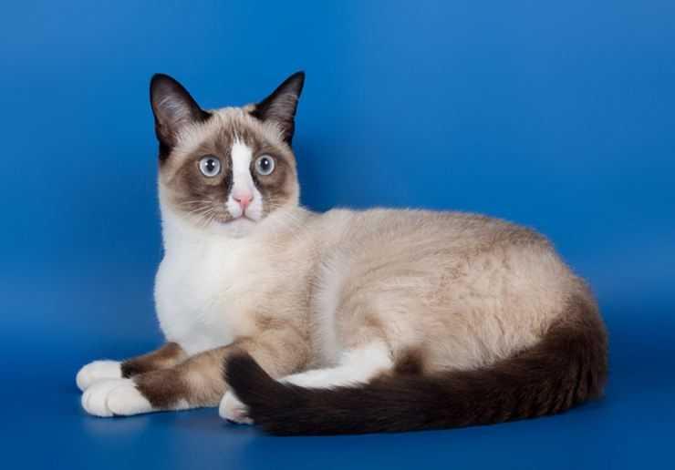 Сноу-шу кошка: подробное описание, фото, купить, видео, цена, содержание дома