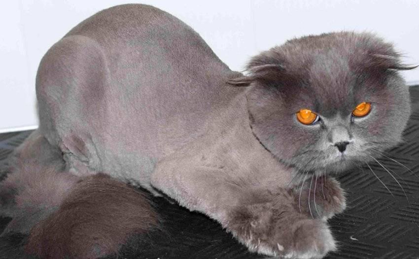 Как подстричь кота перса в домашних условиях. стрижка кошек - для чего нужна животным, гигиенический и модельный груминг, стоимость в салонах