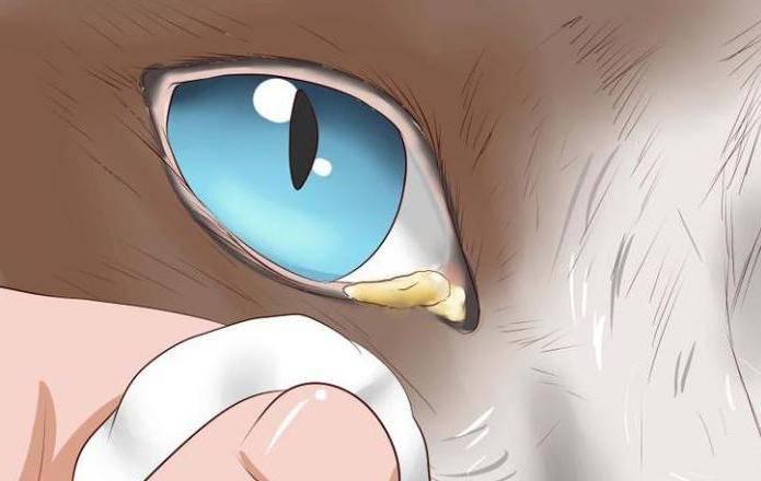 Чем промыть глаза кошке или котенку от гноя в домашних условиях, можно ли применять Хлоргексидин?