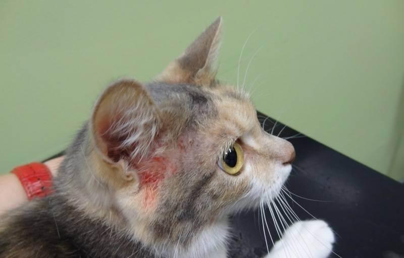 Может ли у кошек болеть голова