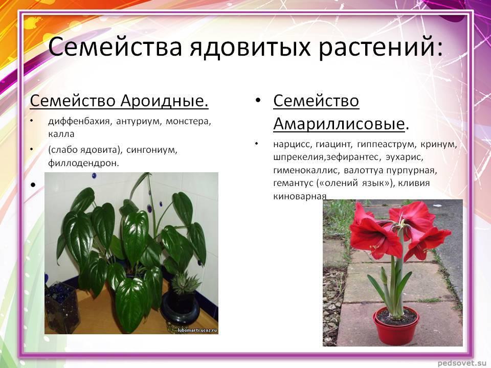 Ядовитые растения для кошек - какие они бывают ядовитые растения для кошек - какие они бывают