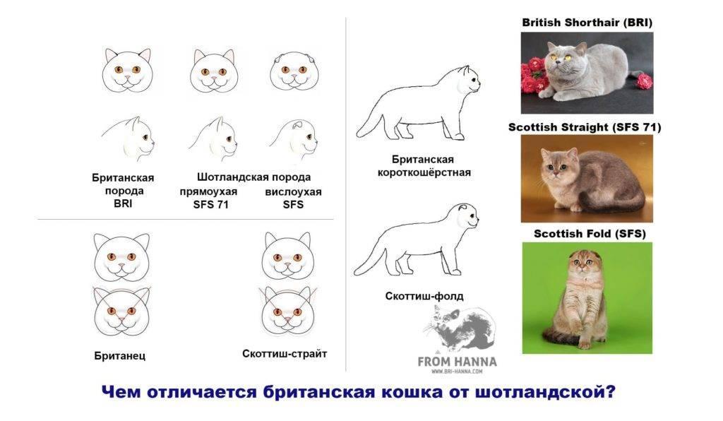 Вислоухие котята британцы или шотландцы: чем отличаются породы