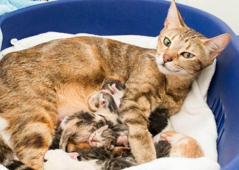 Как помочь кошке родить, если она не справляется самостоятельно
