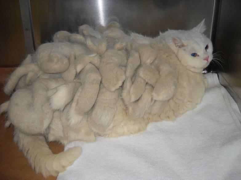 Выпадение шерсти у кошек: причины, лечение и профилактика