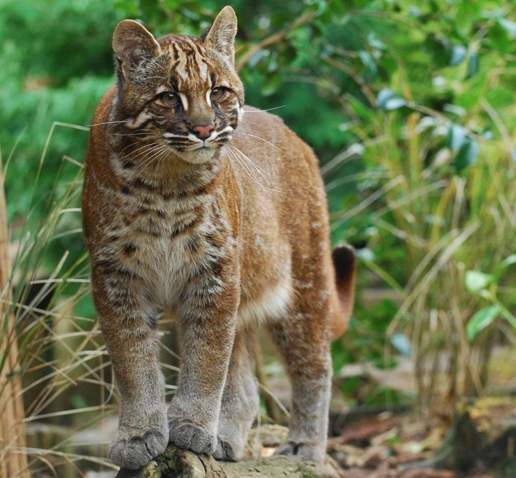 Топ-13: самые крупные дикие и домашние кошки в мире