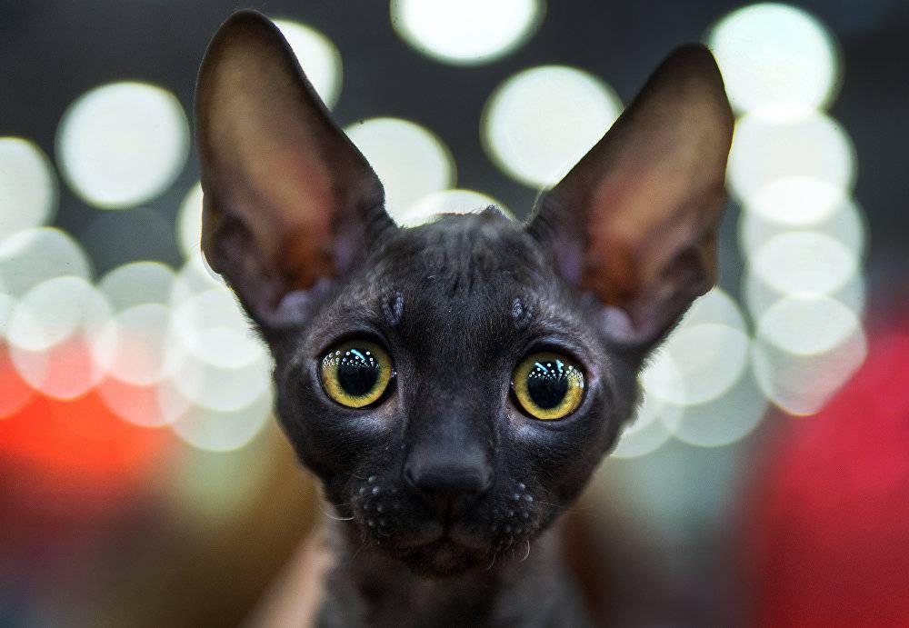 Самые ласковые породы кошек с фотографиями и названиями: добрые и милые питомцы для семей с детьми