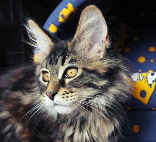 Уход за котятами мейн-куна – советы и рекомендации