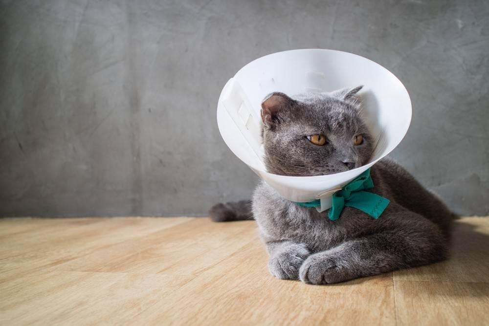 Воротник для кота после кастрации