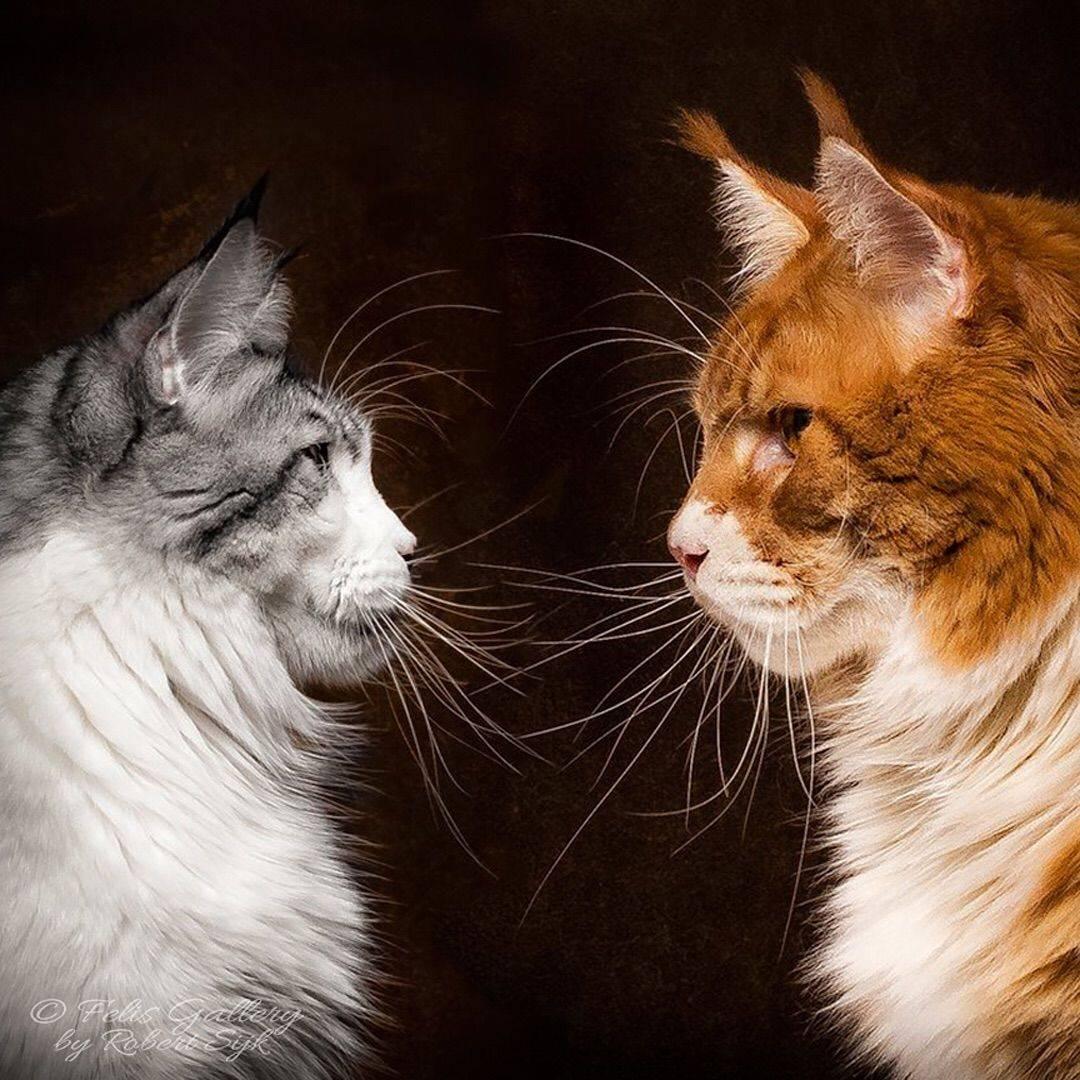 Мейн кун: характер и повадки породы кошек, отзывы владельцев   medeponim.ru