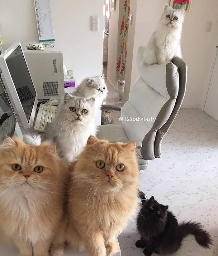Сколько живут персидские кошки – продолжительность жизни