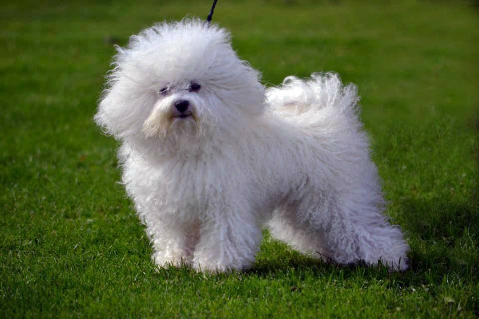 Болоньез — описание, фото и характеристика породы | все о собаках