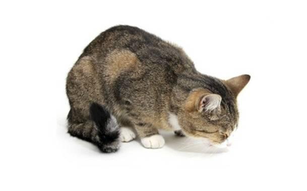 Как понять что у кошки болит живот