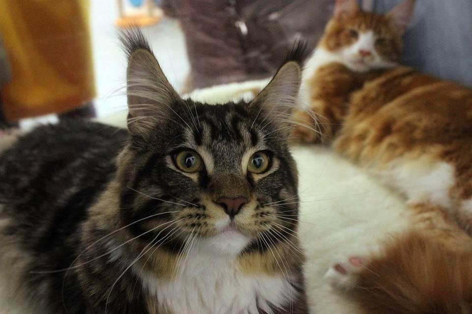 Выставки кошек: для кого они проводятся и зачем нужны?