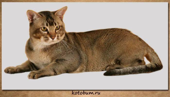 Азиатская табби - описание породы и характер кошки