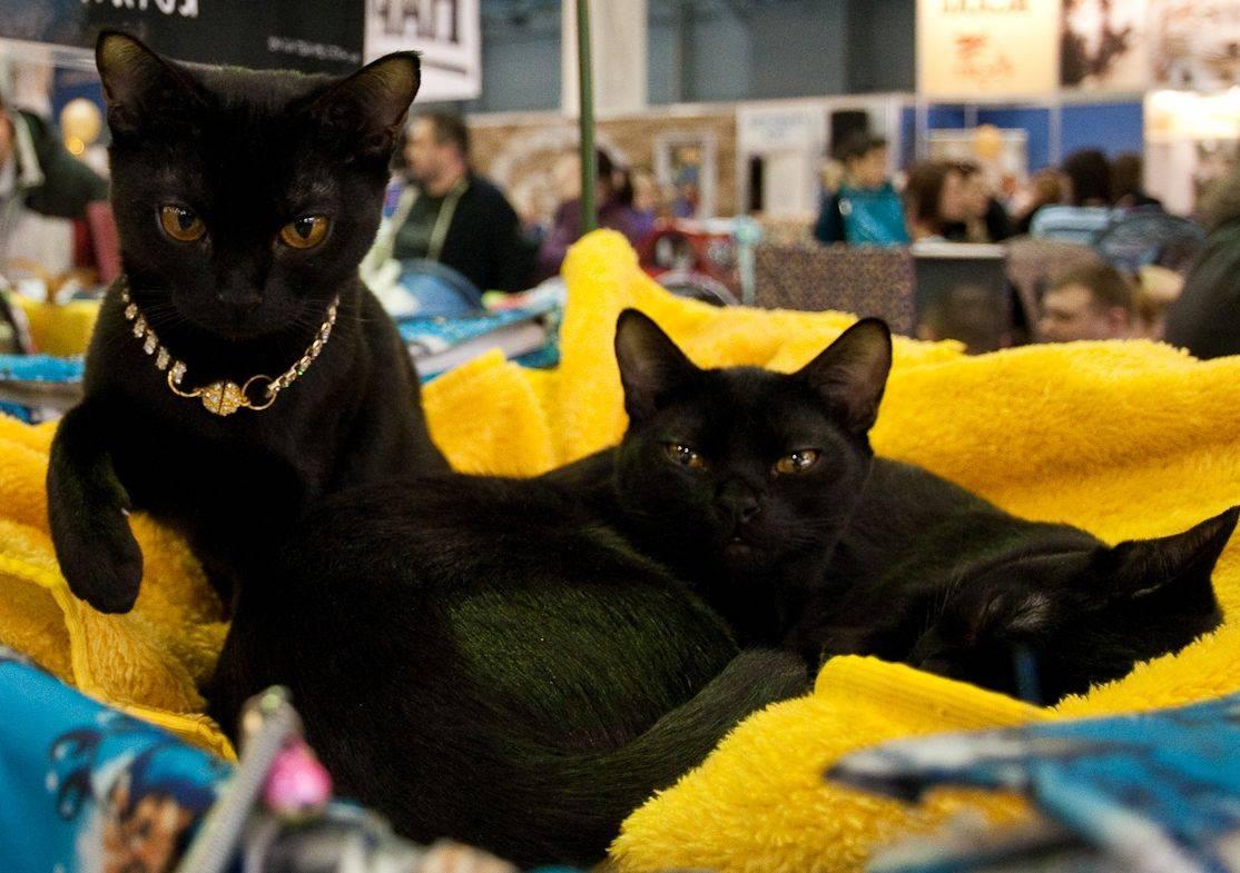 Бомбейская кошка: описание породы и характера