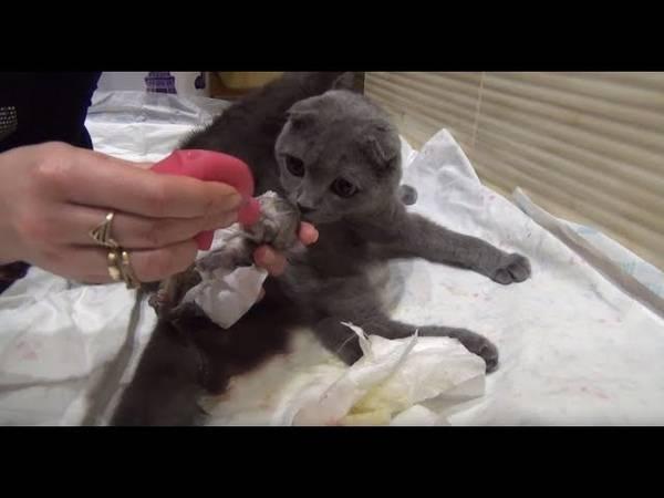 Как рожают шотландские вислоухие кошки