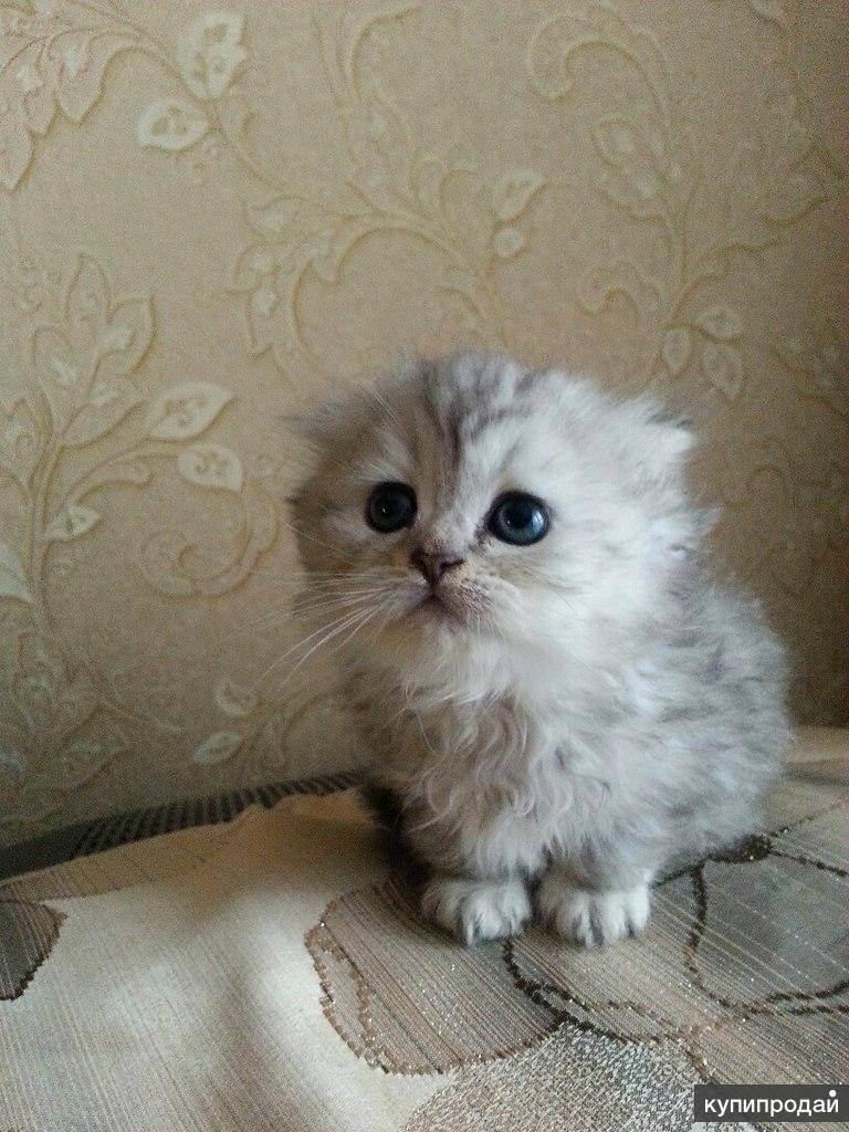 Хайленд фолд: кошки и коты