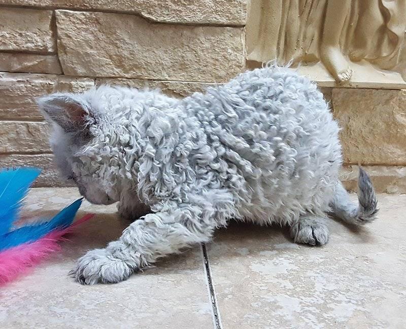 Кудрявые кошки: породы с кучерявой шерстью