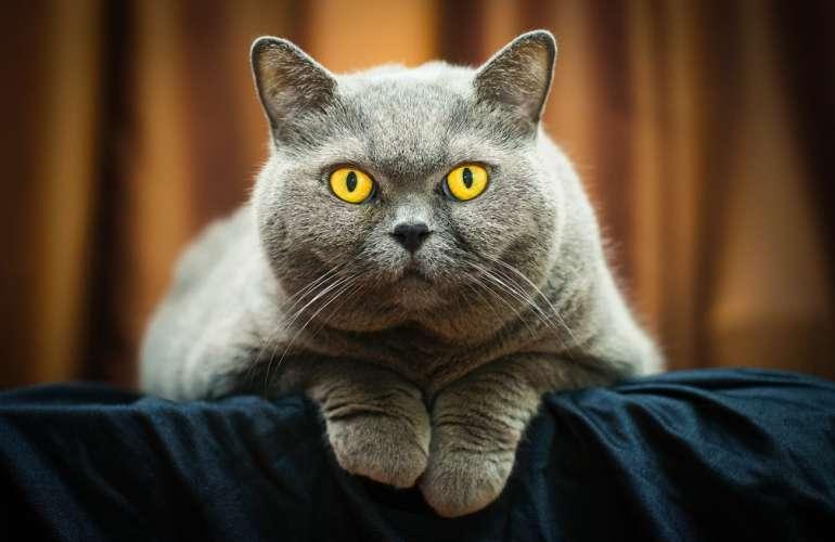 Правильная дрессировка британских кошек