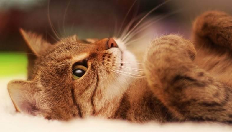 От британских котят есть аллергия