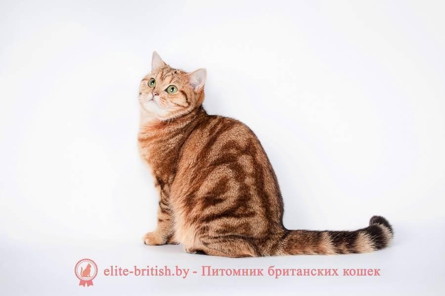 Британская короткошерстная – одна из старейших пород домашних кошек