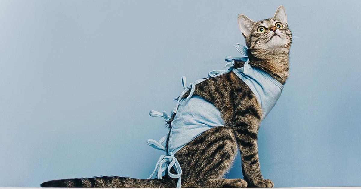 Рацион и режим питания британской породы кошек