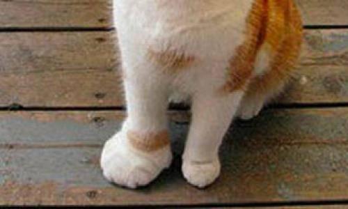 У кота опухла лапа причины и что делать - oozoo.ru