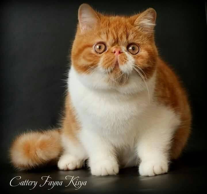 Кот снупи: описание породы, характер кошки, советы по содержанию и уходу, фото