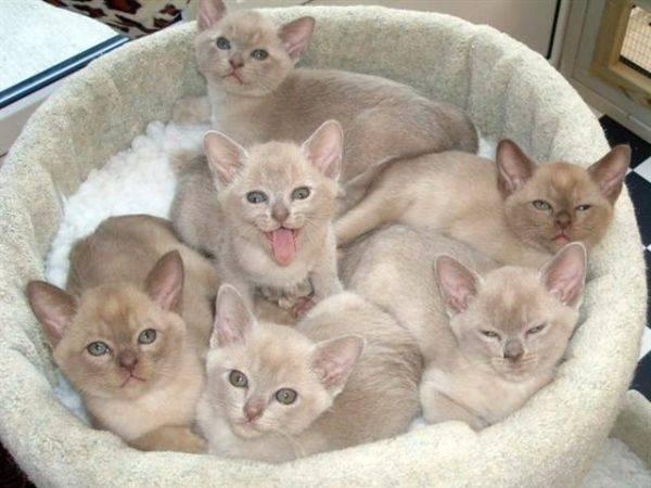 Разведение породистых кошек - основные этапы, правила