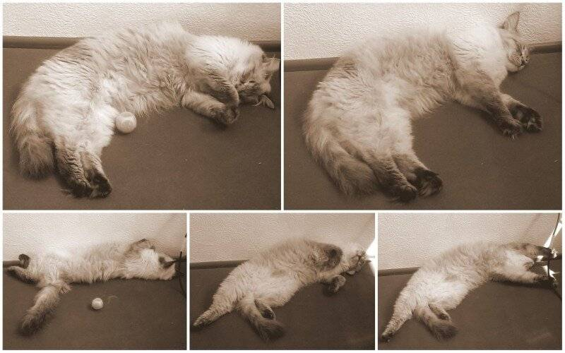 Причины судорог у кошки, признаки, что делать в период конвульсий   beauty-line14a.ru