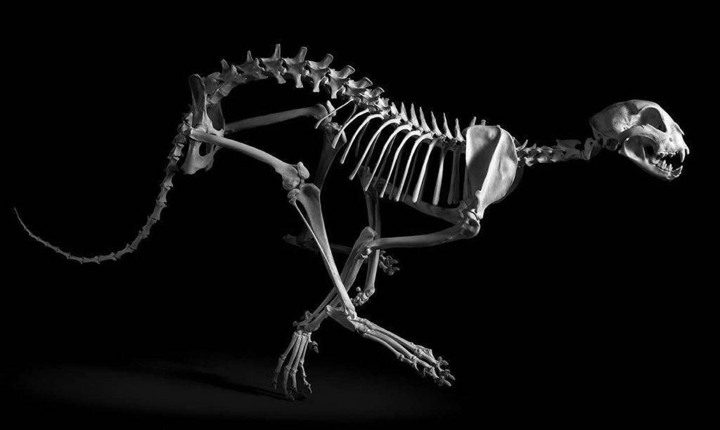 Строение кошачьих конечностей: как устроены передние и задние ноги, что такое лапа у кошки, сколько когтей у котов?