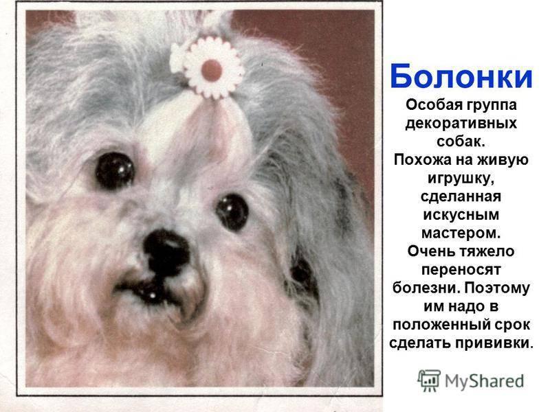 Папильон: все о собаке, фото, описание породы, характер, цена