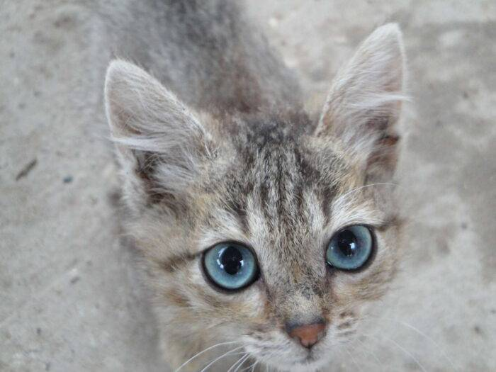 Охос азулес - описание породы и характер кошки