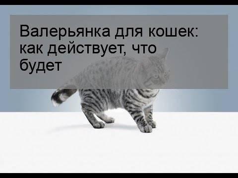 """Запретное зелье для кошек – экстракт валерианы или """"кошачья трава"""""""