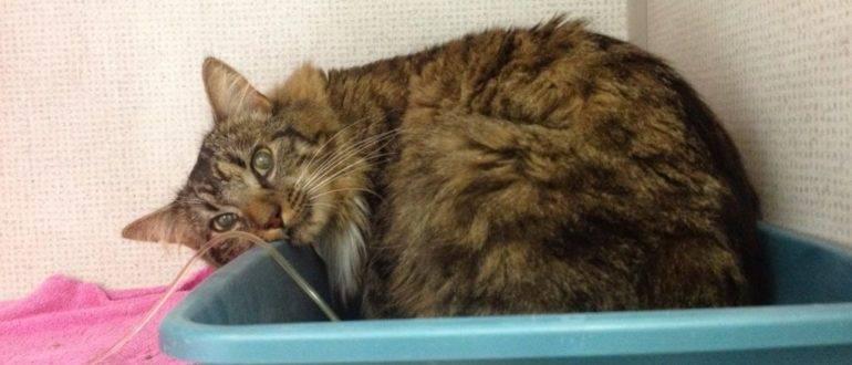 Болезни почек у кошек – нефрит, пиелонефрит, нефроз